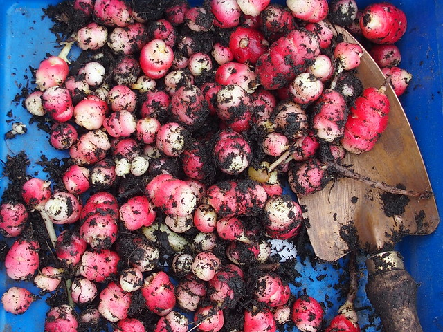 2015 oca harvest with copper trowel
