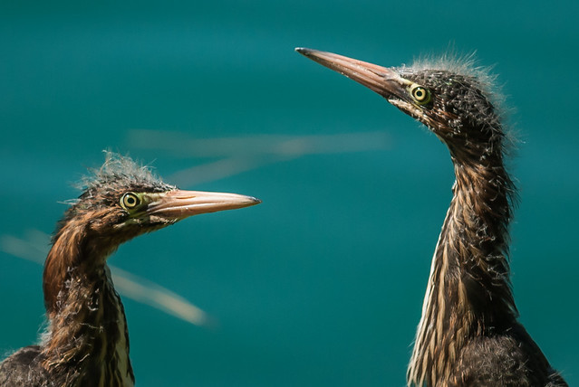 Pair of Juvenile Little Green Herons