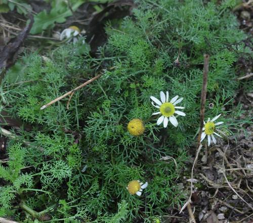 Scentless Mayweed flowering near Luddesdown
