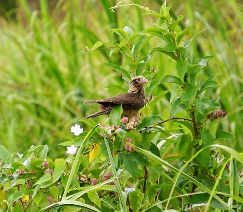 yellowheadedcaracara milvagochimachima bird trinidadandtobago