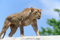 Lion Walking Across a Rock