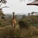 Langata Giraffe Center by mirsasha