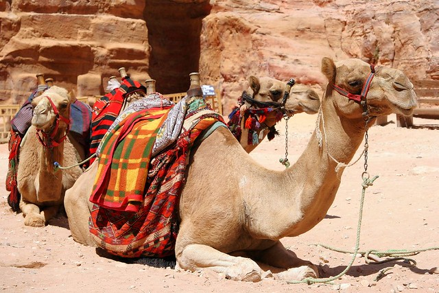Camel - amazing animal