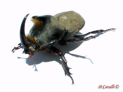 hornet(0.0), arthropod(1.0), animal(1.0), japanese rhinoceros beetle(1.0), invertebrate(1.0), insect(1.0), fauna(1.0), dung beetle(1.0), pest(1.0),