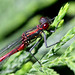Pyrrhosoma nymphula (Large Red Damselfly)