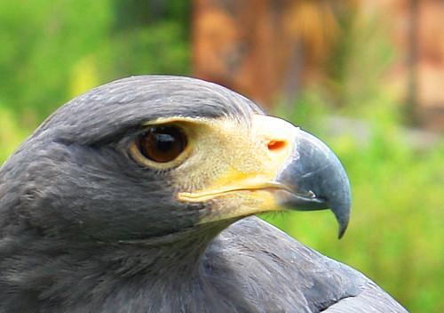 Águila -aquila chrysaetos-