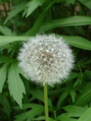 grass(0.0), silybum(0.0), dandelion(1.0), flower(1.0), plant(1.0), wildflower(1.0), flora(1.0), produce(1.0), plant stem(1.0),