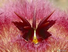 Stapelia hirsuta flower macro