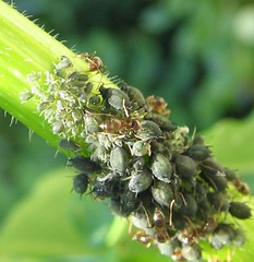 Tiny Green Bugs on Your Plants: Must Be Aphids - Urban Organic Gardener