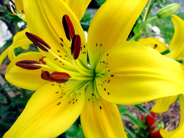 yellow tiger lily flower  klejonka, Beautiful flower