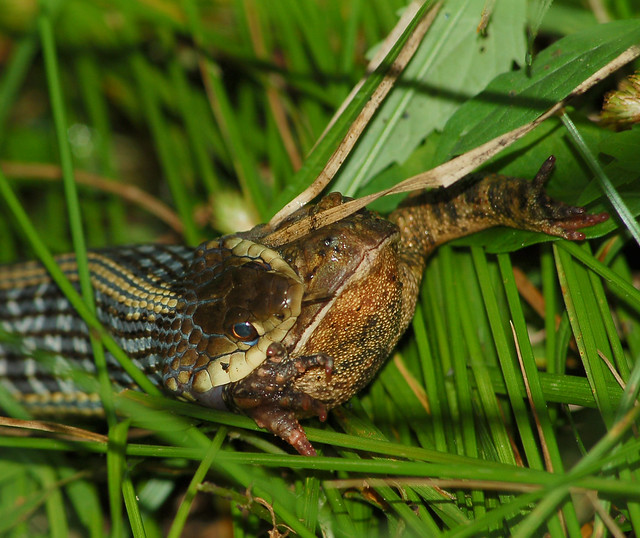 Snake Eating A Toad Flickr Photo Sharing