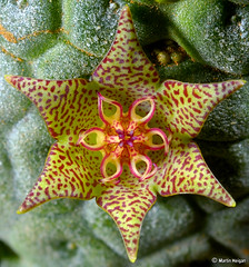 Larryleachia marlothii flower - extreme macro