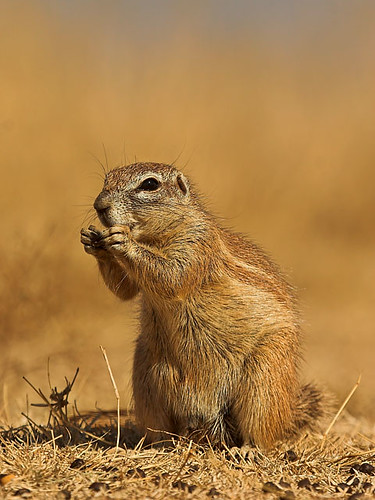 Ground Squirrel (Xerus inauris)