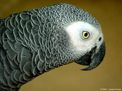 wing(0.0), animal(1.0), parrot(1.0), fauna(1.0), close-up(1.0), common pet parakeet(1.0), beak(1.0), african grey(1.0), bird(1.0),