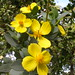 Bush Poppy - Photo (c) J Brew, some rights reserved (CC BY-SA)