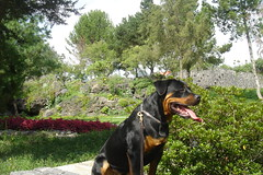 appenzeller sennenhund(0.0), entlebucher mountain dog(0.0), animal(1.0), dog(1.0), pet(1.0), mammal(1.0), greater swiss mountain dog(1.0), transylvanian hound(1.0),