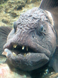 Ugly fish flickr photo sharing for Ugly fish pictures