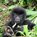 Baby Mountain Gorilla by kumasawa