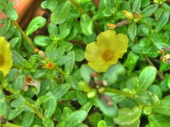 evergreen(0.0), produce(0.0), common tormentil(0.0), rose of sharon(0.0), hypericum(0.0), annual plant(1.0), shrub(1.0), flower(1.0), leaf(1.0), plant(1.0), common purslane(1.0), wildflower(1.0), flora(1.0),