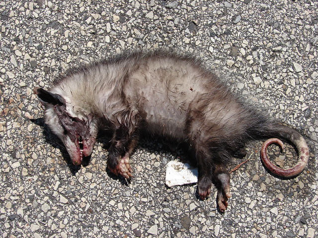 how to tell if a possum is playing dead
