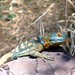 Small photo of San Lucan banded rock lizard