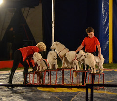 animal sports, dog, pet, entertainment, circus,