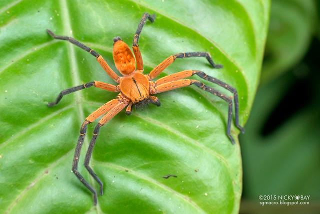 Huntsman spider (Sparassidae) - DSC_1288
