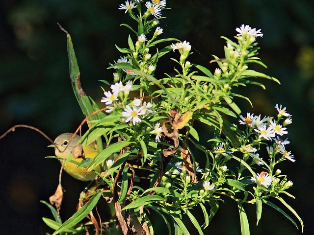Nashville Warbler in daisies 3-20150921
