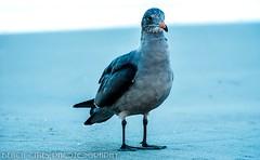 Bird taking a stroll on Pacific Beach, San Diego