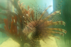 GS Marine Lab Lionfish 4