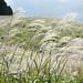 Silver Grass of Sengokuhara by huzu1959