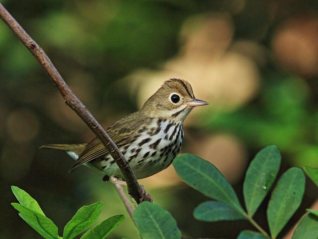 Ovenbird 2-20151007