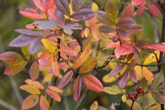 IMG_7019 Swamp Rose
