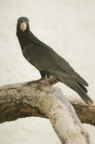 Coracopsis vasa - Greater Vasa Parrot