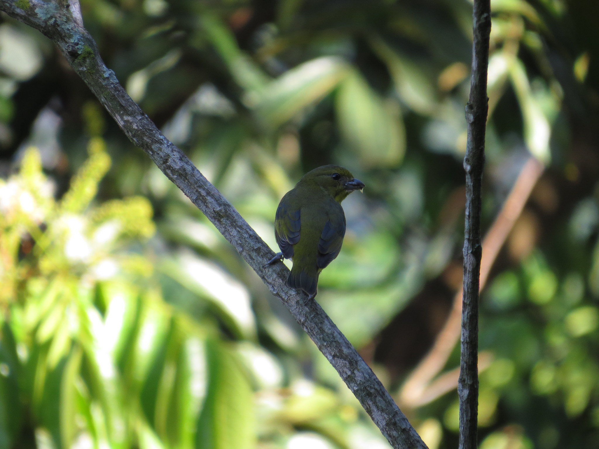 Yellow-throated Euphonia by Seth Inman - La Paz Group