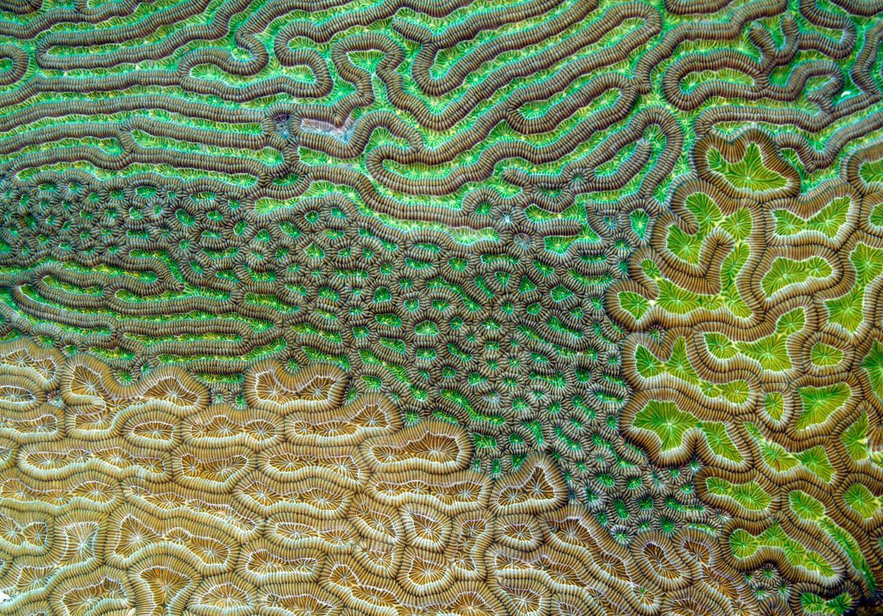 Caribbean brain coral