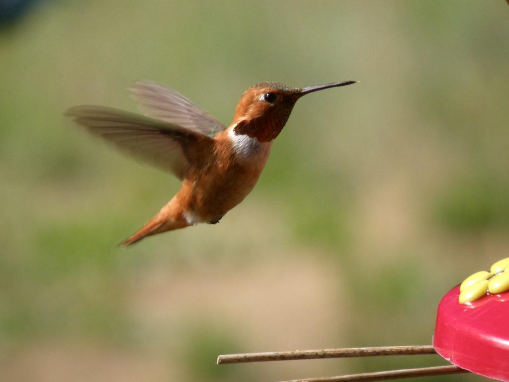 P6195878...rufous hummingbird