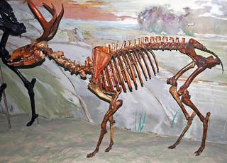 Navahoceros fricki (fossil cave deer) (Pleistocene; Guadalupe Mountains, New Mexico, USA) 3