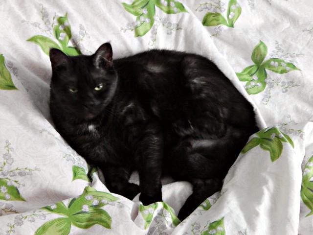 Чёрный кот Муся с грозным выражением летса | Musia the black cat angry
