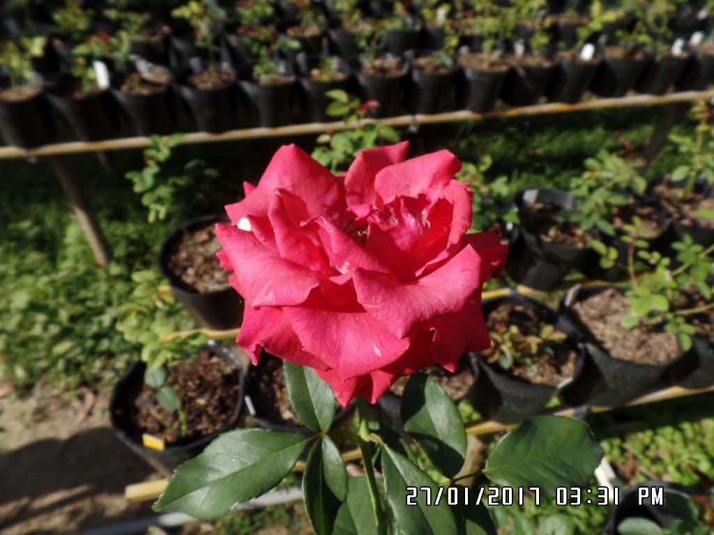 cham soc hoa hong da lat (4)