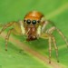 Orange jumping spider (Cosmophasis sp) by Anthony Kei C
