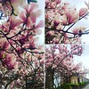 Such a beautiful day in London today! It really is Spring when the city is in bloom! In love! :two_hearts::cherry_blossom: