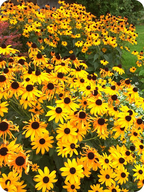 Black Eyed Susans galore