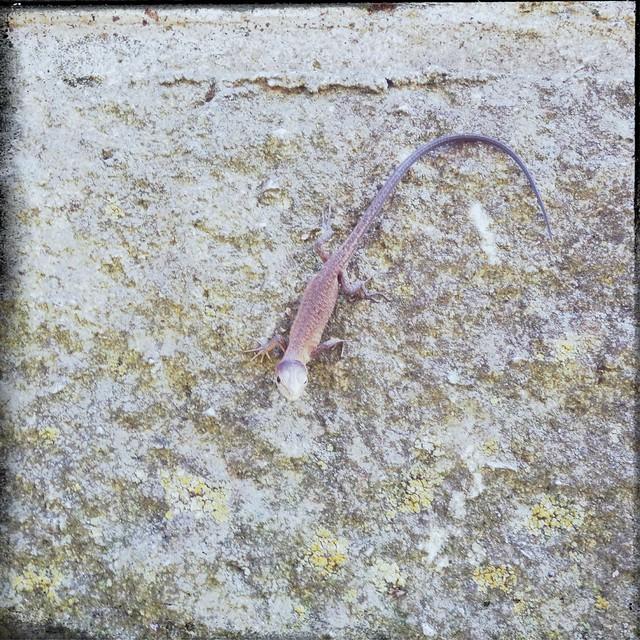Takydromus tachydromoides