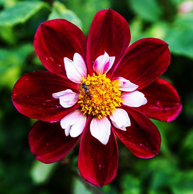 Red-white Dahlia