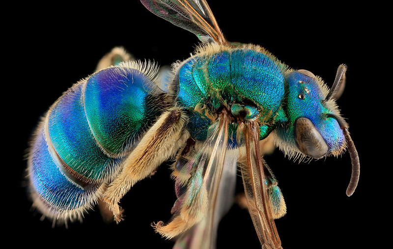 4-augochloropsis-sumptuosa-bee-1600