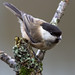 Willow Tit - Parus montanus by normanwest4tography