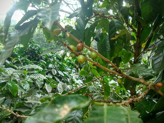 Les cerises du caféier qui seront cueillies pour préparer le meilleur café du monde...