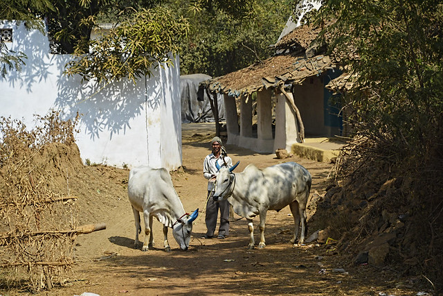 """""""In the 1990s, there were more than 2500 cattle in our village but within two decades, their population has reduced by 60% due to contaminated water and cattle fodder due to mining activities"""", says Lakhanlal Dhritlahare, a resident. As recently as 2013, contaminated water killed 75 cattle."""