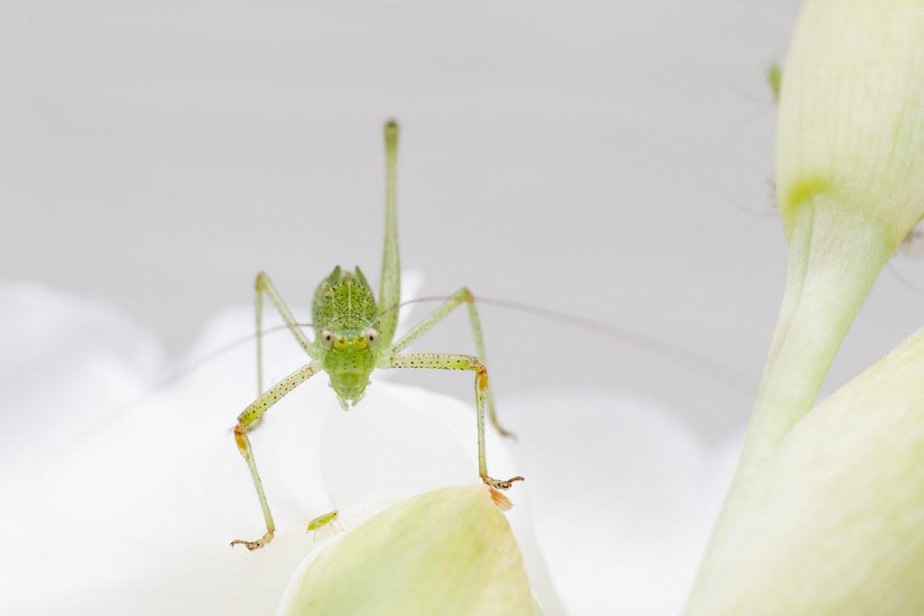 A fork-tailed bush katydid nymph and an aphid on a gladiolus blossom